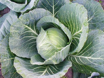 cabbage greens